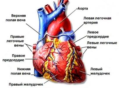 УЗИ сердца: показания, подготовка